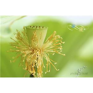 莲蓬豌豆羹
