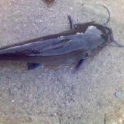 胡子鲇(鱼)